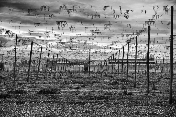 Hops hanging from wires. Black and white photograph.