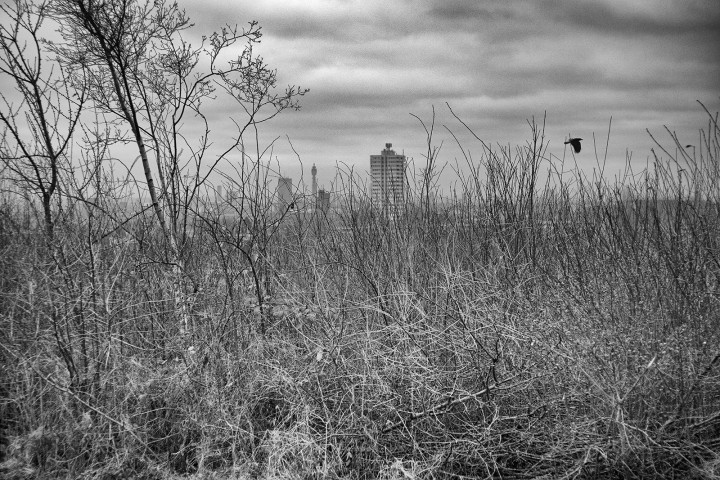 View through undergrowth of distant city (London). Black and white photograph.